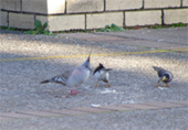 Crested Pigeon(冠鳩)