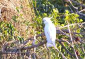 Cockatoo(白いオウム)