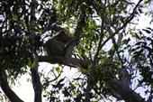 木の上のコアラ
